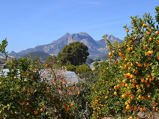 Orange trees.