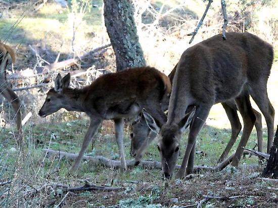Familia de ciervos.
