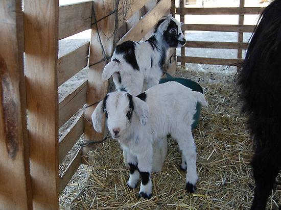 Des chèvres