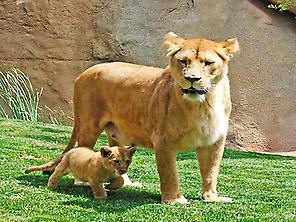 Lions at Bioparc