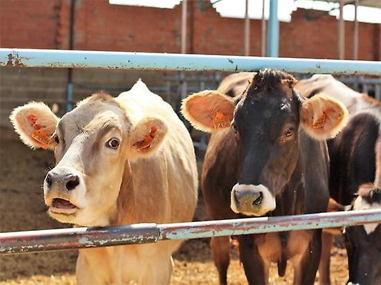 Alpine cows