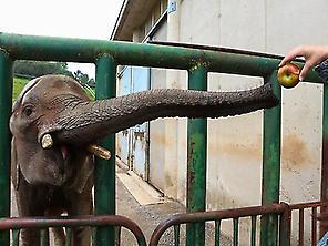 Dando manzanas a los elefantes