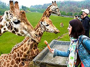 VISIT THE GIRAFFE