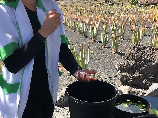 Uses and applications of the aloe plant