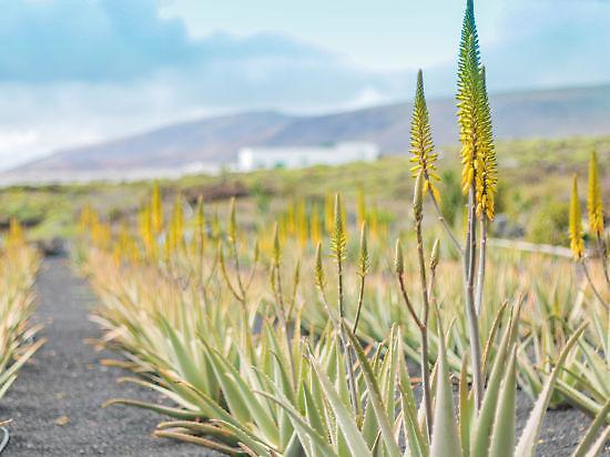 Aloe organic plantation