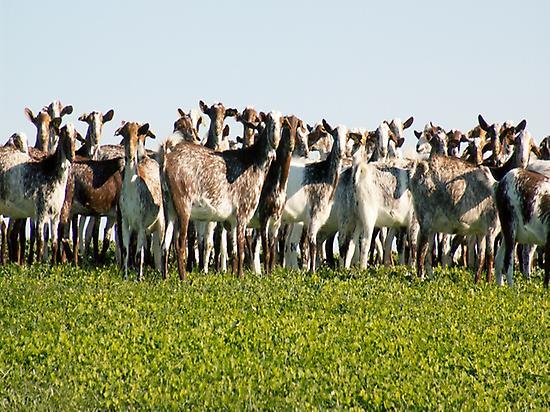 El Bucarito florida goats