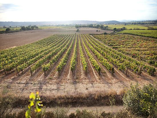 Empordalià winery vineyards