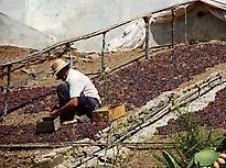 Muscatel raisins