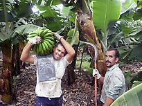 Harvesting bananas.