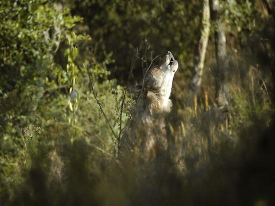 IBERIAN WOLF HOWLING