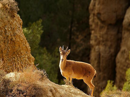Cabra montés Hoya de Guadix