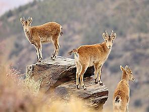 Cabras monteses en la Ragua