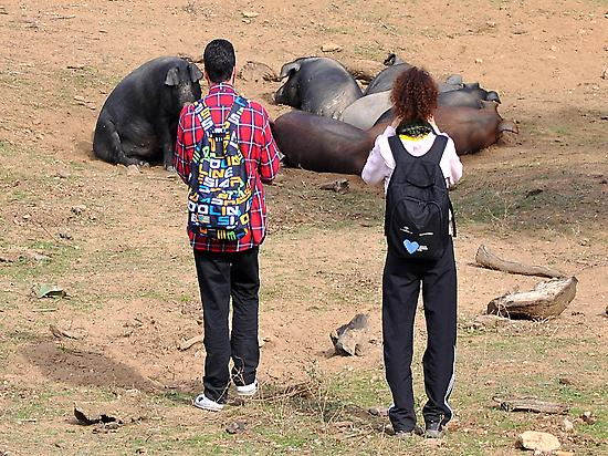 Visitantes en la Dehesa con los cerdos
