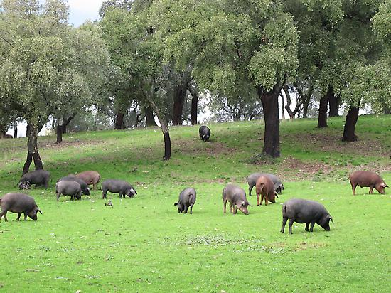 Iberian pig in the pasture.