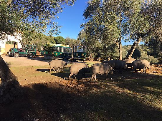 Visit the pasture by train, seeing pigs.