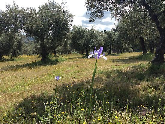 Organic olive tress
