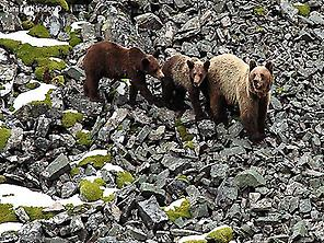 Brown bear mother with their cubs