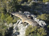 Vulture flying