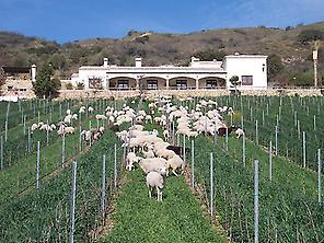SHEEP DURING THE SPRING