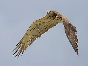 Short-toed Eagle crossing the Strait