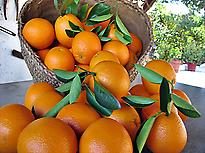 Oranges of Carcaixent