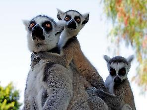 Family of Lemurs in Bioparc in Valencia