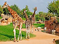 Giraffes in Bioparc