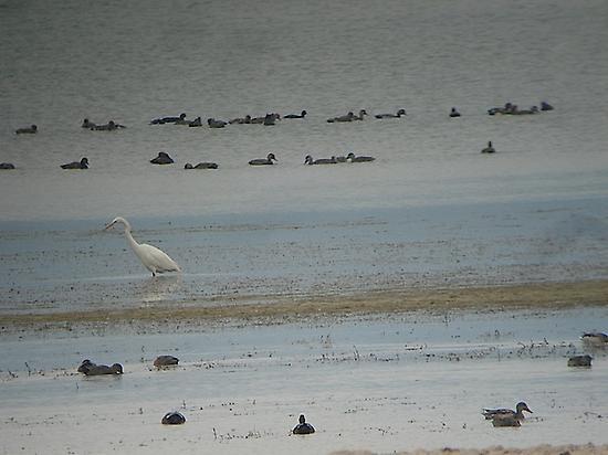Waterfowl at reservoir Ebro