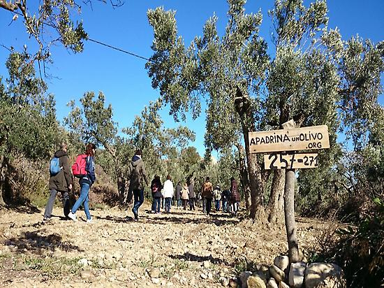 Walking around ancient olives trees
