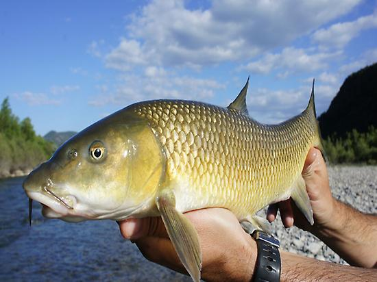 Barbel on the fly.