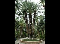 Imperial Palm Tree at Huerto del cura