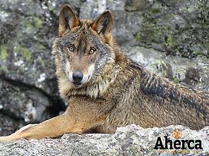 Wolves in Sierra de la Culebra (Zamora)