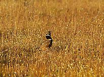The extremely rare Little Bustard
