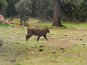 REINTRODUCTION OF IBERIAN LYNX