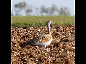 Great Bustard, the Queen of the Steppe