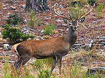 GREAT MALE OF RED DEER