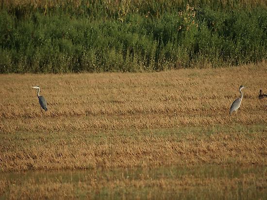 Grey Herons in Almansa