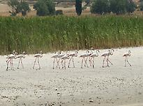 Flamingos in Pétrola