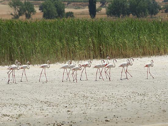 Flamingos in Pétrola