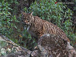 Iberian lynx in Sierra de Andújar