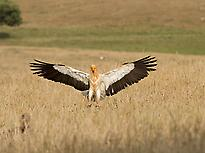 Egyptian Vulture in Valle de Alcudia