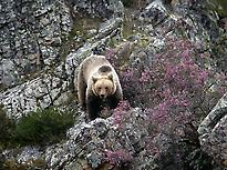 Adult of brown bear