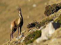Sarrio en el Pirineo
