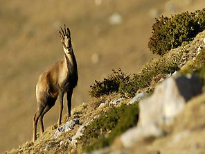 Chamois in the Pyrenees