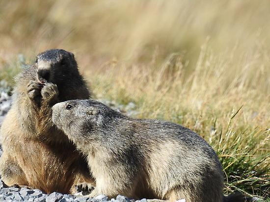 Marmots in the Pyrenees of Spain