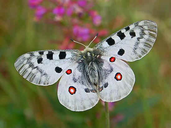 Butterfly in the Pyrenees of Spain
