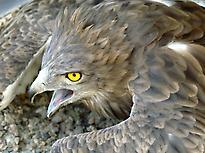 Circaête-jean-le-blanc
