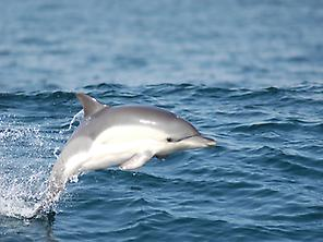Common Dolphin - resident species