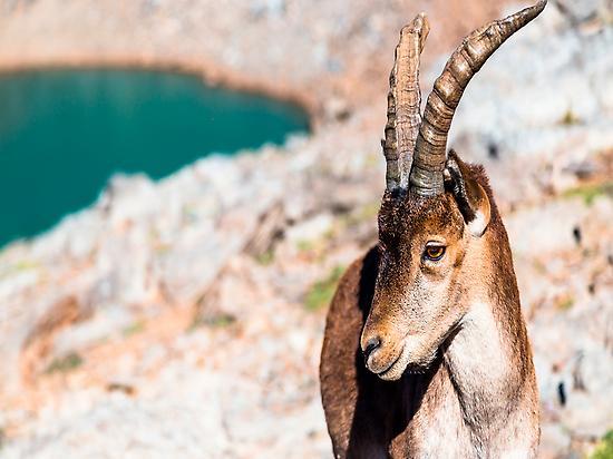 Cabra Montesa Sierra Nevada