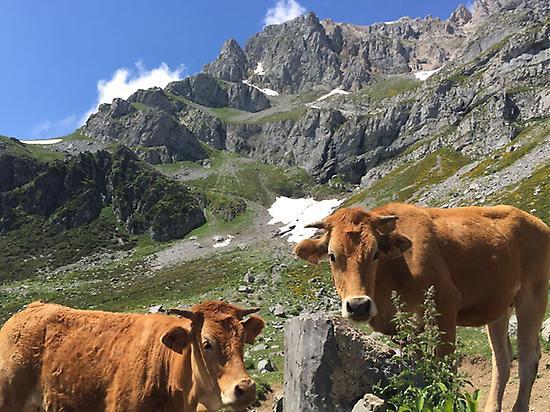 Cows in Picos de Europa